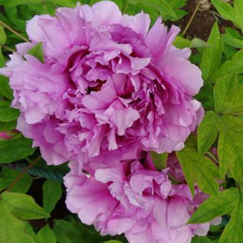 Fu Gui Man Tang Blue Beautiful Garden Chinese Tree Peony