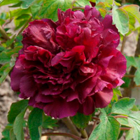 Mo Run Jue Lun Black Garden Chinese Peony Flower