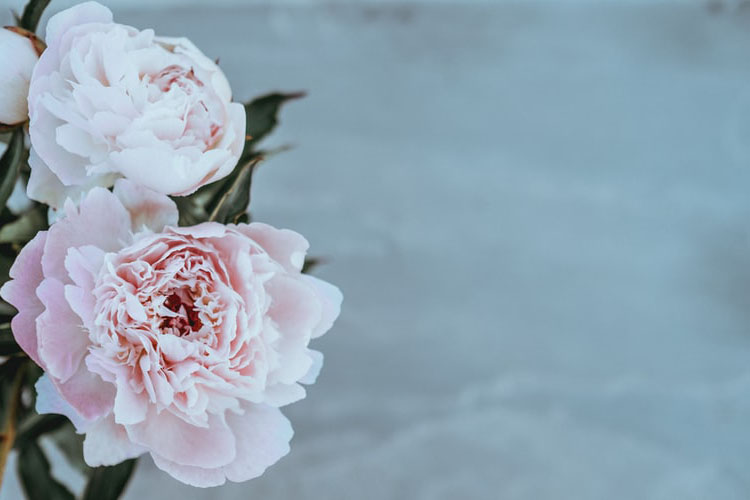 9 Peony Cultivation Techniques