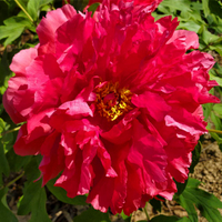 Taiyo Red Delicate Japanese Peony Flower