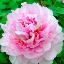 Cun Song Ying Pink Wholesale Japanese Tree Peony