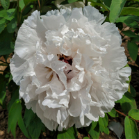 Jing Yu Early Blooming White Chinese Peony Plant