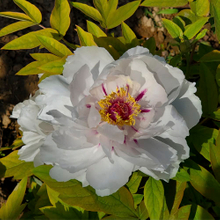 Yue Gong Zhu Guang White New Chinese Tree Peony