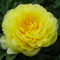 Jin Dao Quality Yellow New Japanese Tree Peony