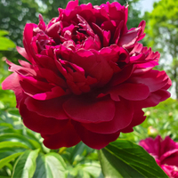 Wu Jin Yao Hui Dark Red Garden Chinese Peony Flower