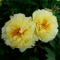 Ba Ci La Yellow Fragrant Hybrid Tree Peony