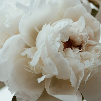 How and When to Divide Herbaceous Peonies?