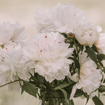 Leaves and Petals [Herbaceous Peony vs. Tree Peony]