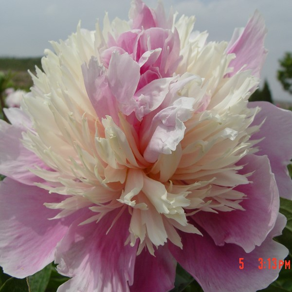 Qi Hua Lu Shuang Multi-Color Amazing Park Intersectional Peonies