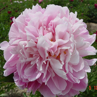 Zhong Sheng Fen Pink Decorative Park Intersectional Peonies