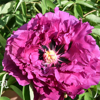 Zi Yan Purple Delighful Landscape Tree Paeonia Suffruticosa
