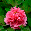 Juan Ye Hong Red Charm Chinese Traditional Peony for Garden