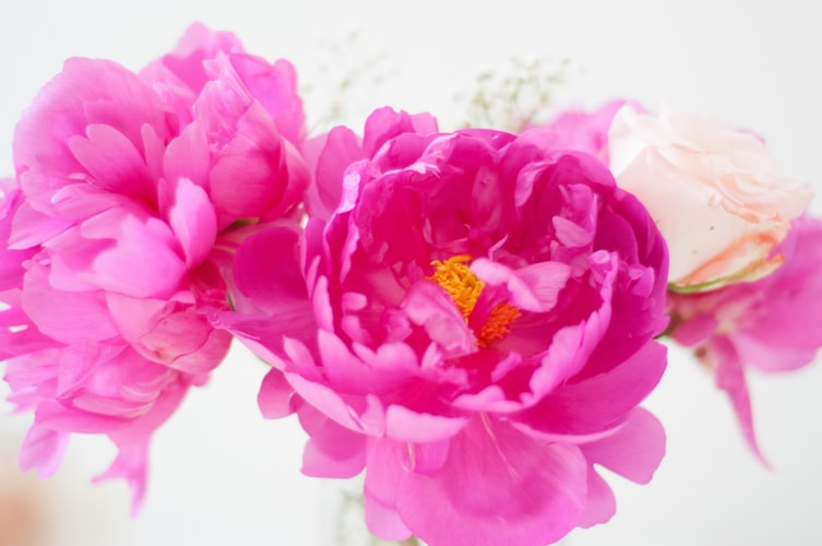 How Do You Propagate Tree Peonies?