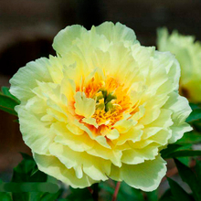 Huang Guan Quality Yellow Fragrant Japanese Peony Plant