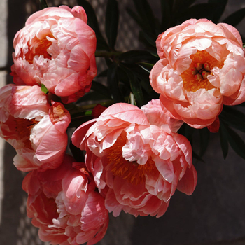 How to Grow Peony in Song Dynasty?