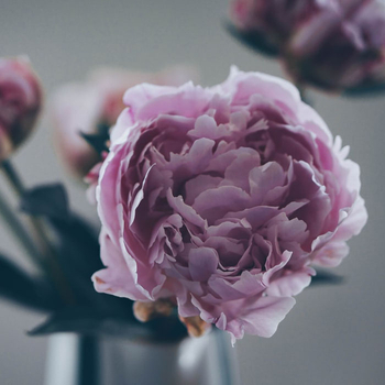 Are Tree Peonies' Root Medicinal?