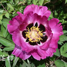 Zi Lian Deng Multi-Clour Graceful Garden Tree Peony