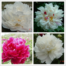 Mixed Color Multi-petalled Blooms Grafting Balcony Intersectional Peonies