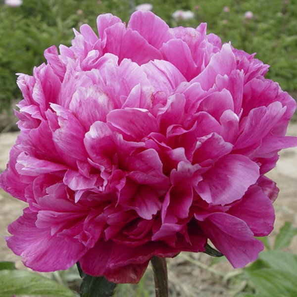 Gao Gan Hong Blue Oriental Backyard Herbaceous Peony Varieties