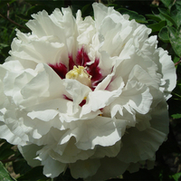Gui Fu Ren White Delighful Garden Mountain Tree Peony