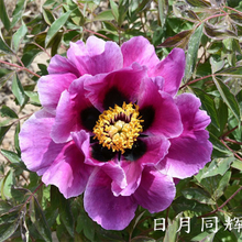 Ri Yue Tong Hui Multi-Clour Elegant Park Growing Tree Peonies