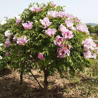 Precious Tall Moutan Planting Single Tree Peony