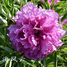 Lan Hai Feng Yun Blue Charming Park Tree Peony Root