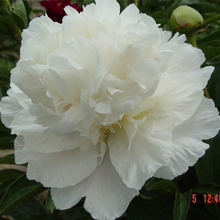 Xue Feng White Gorgeous Ornament Herbaceous Peony