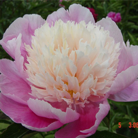 Lian Tai Multi-Color Decorative Balcony Herbaceous Peony Varieties